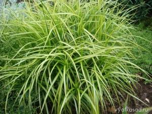 осока пальмовидная
