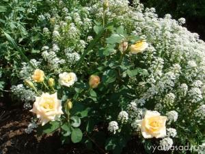 иберис и розы