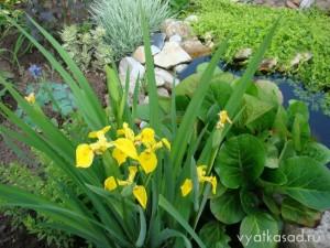 ирис желтый в саду