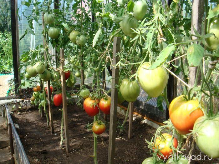 дырки в помидорах в теплице