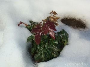 Вечнозеленый куст магонии после зимы