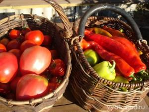 урожай томатов и острого перца
