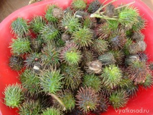 плоды клещевины