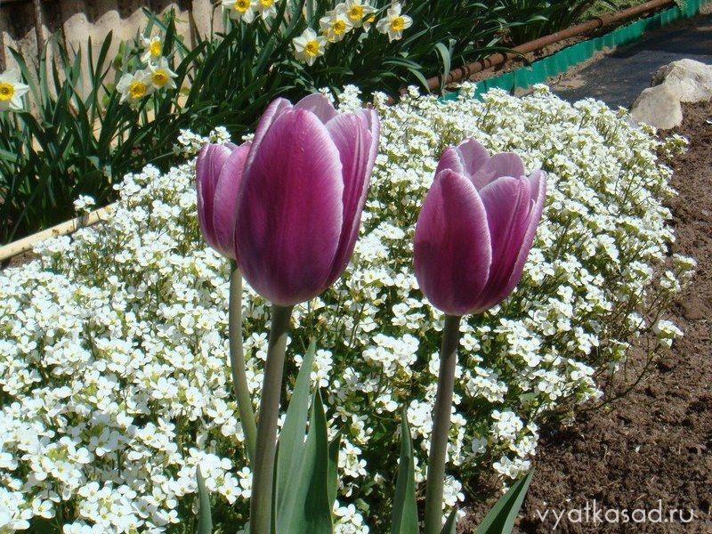 тюльпаны Джек Пот