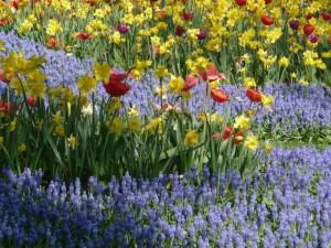 тюльпаны, нарциссы и мускари
