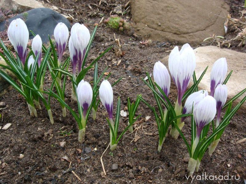 крокус весенний Пиквик