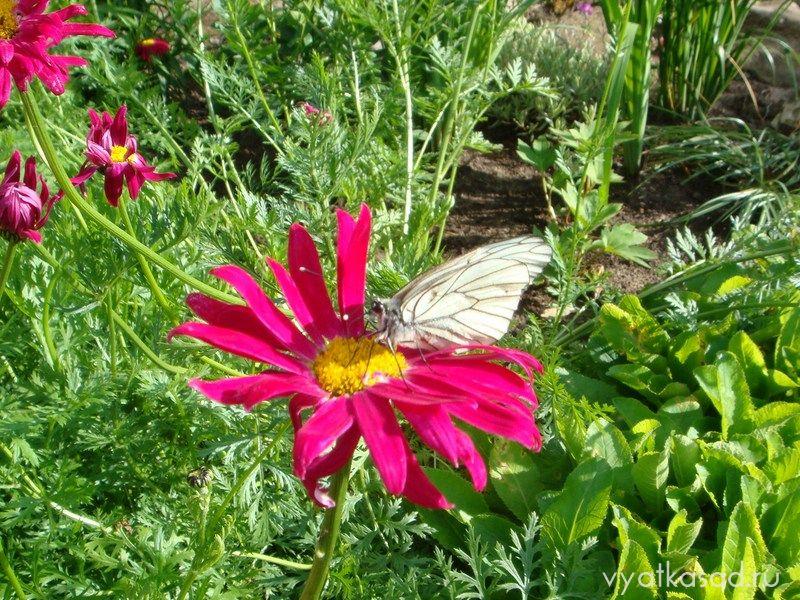 бабочка боярышницы