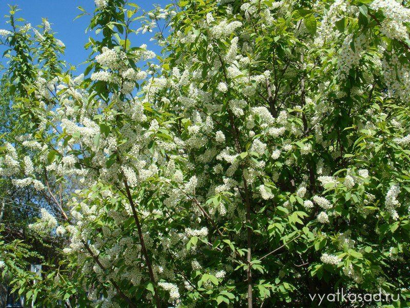 Цветет черемуха обыкновенная