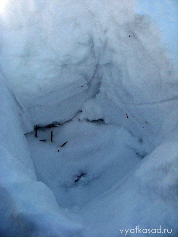 Яма в снегу для хранения саженцев роз
