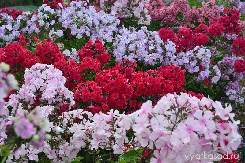Цветение флоксов в моем саду