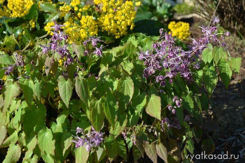 Горянка крупноцветковая Lilafea