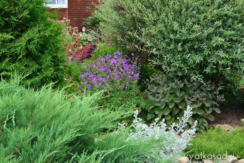 Герань луговая Plenum violaceum
