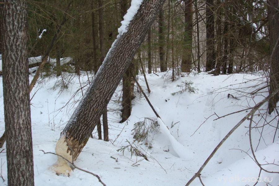 Дерево, погрызенное бобром