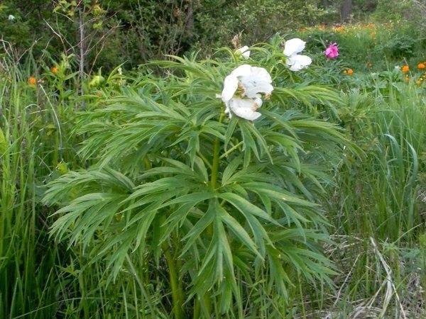 Пион уклоняющийся (Paeonia anomala L.) форма белая