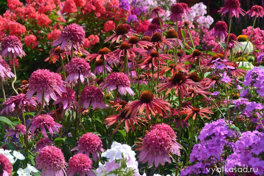 Эхинацеи в цветнике