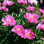 Пион Dawn Pink