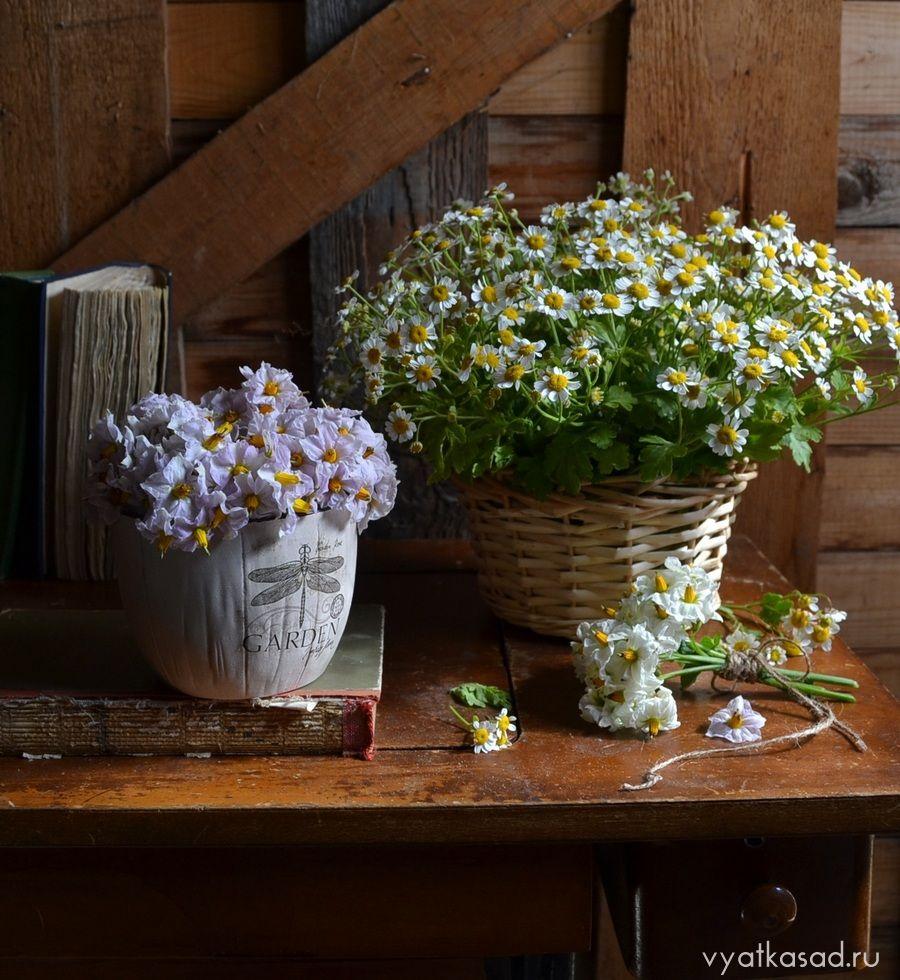 Цветы картофеля и пиретрум