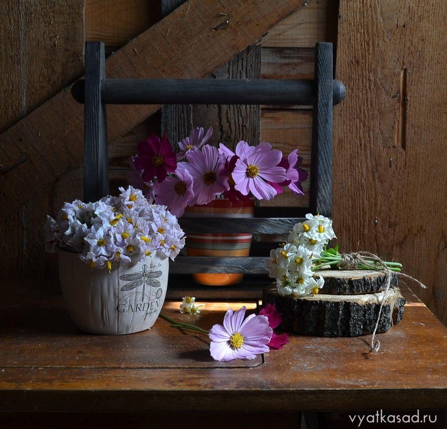 Цветы картофеля и космея